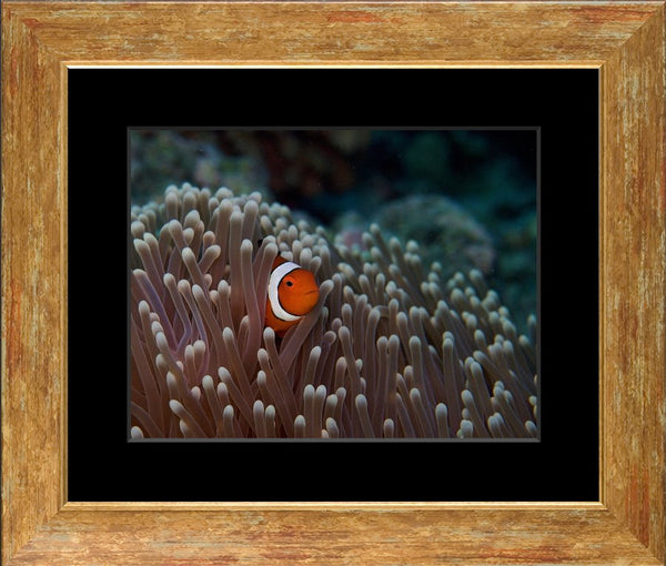 Pica boo Clown Fish  by Schmidt in a 10 x 13 Print Framed with Black Mat - Schmidt Fine Art Gallery