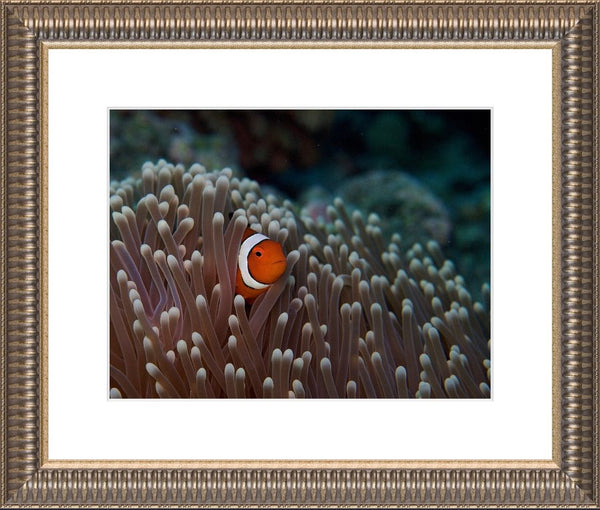 Pica Boo Clown Fish in a 10 x 13 Framed Print with white mat - Schmidt Fine Art Gallery
