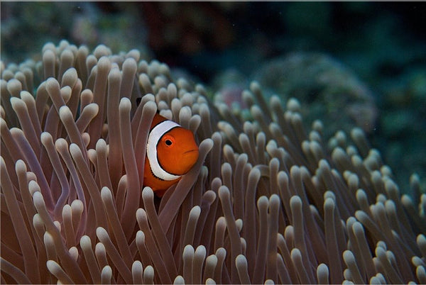 Pica boo Clown Fish  by Schmidt in a 20 x 30 Poster - Schmidt Fine Art Gallery