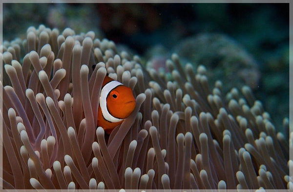 Pica Boo Clown Fish by Schmidt in a 4 x 6 print unframed - Schmidt Fine Art Gallery