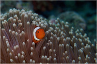 Pica Boo Clown Fish by Schmidt in a 6 x 9 print unframed - Schmidt Fine Art Gallery
