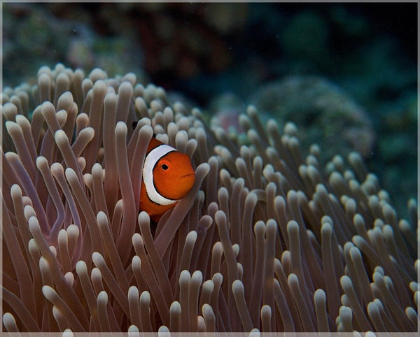 Pica Boo Clown Fish by Schmidt in a 8 x 10 print unframed Schmidt Fine Art Gallery