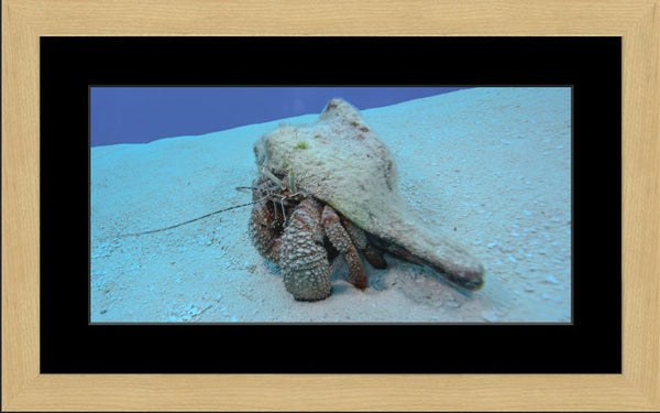 Roving Conch by Schmidt in a 10 x 20 print Framed with mat in a Blonde Maple Frame - Schmidt Fine Art Gallery
