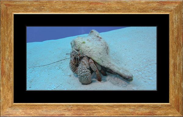 Roving Conch in a 10 x 20 Print in a Gold Accent Frame with mat - Schmidt Fine Art Gallery