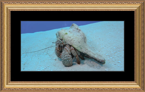 Roving Conch in a 10 x 20 Print in a Gold Ornate Frame with mat - Schmidt Fine Art Gallery