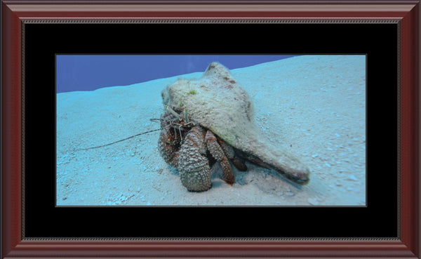 Roving Conch by Schmidt in a 10 x 20 print Framed with mat in a Beaded Mahogany Frame - Schmidt Fine Art Gallery
