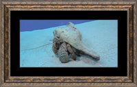 Roving Conch by Schmidt in a 10 x 20 print Framed with mat in a Bronze Ornate Frame - Schmidt Fine Art Gallery