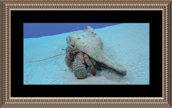 Roving Conch by Schmidt in a 10 x 20 print Framed with mat in a Pewter ribbed Frame - Schmidt Fine Art Gallery