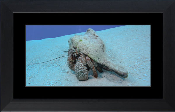 Roving Conch in a 10 x 20 Print in a Black Flat Frame with mat - Schmidt Fine Art Gallery