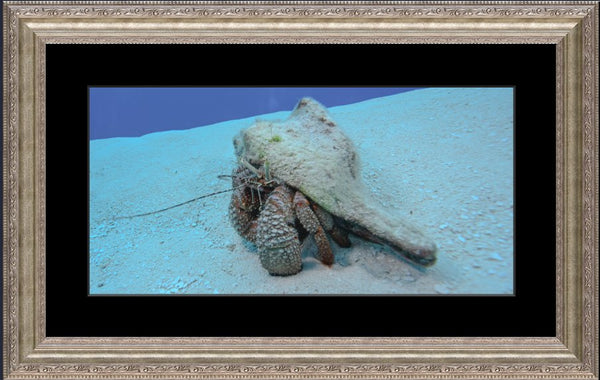 Roving Conch in a 10 x 20 Print in a Silver Ornate Frame with mat - Schmidt Fine Art Gallery