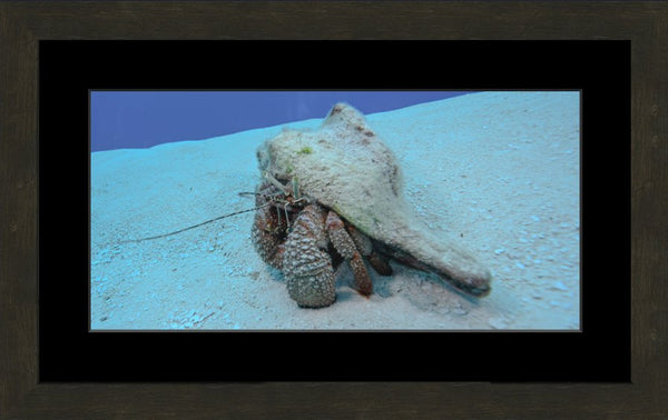 Roving Conch in a 10 x 20 Print in an Espresso Walnut Frame with mat - Schmidt Fine Art Gallery