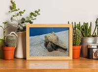 Roving Conch in a 5 x 7 Print - Schmidt Fine Art Gallery