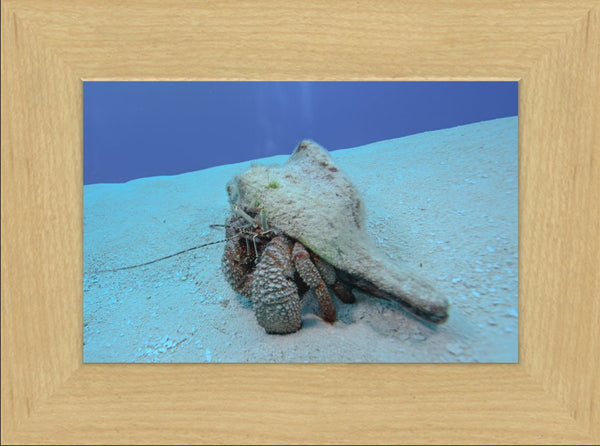 Roving Conch by Schmidt in a 6 x 9 print Framed in a Blond Maple Frame - Schmidt Fine Art Gallery