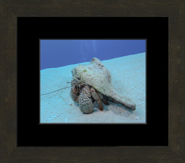 Roving Conch in a 8 x 10 Print in an Espresso Walnut Frame with mat - Schmidt Fine Art Gallery
