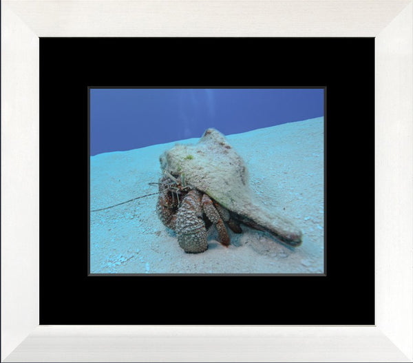 Roving Conch in a 8 x 10 Print in a White Flat Frame with mat - Schmidt Fine Art Gallery