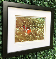 Single Clown Fish and Sea Anemone in a 5 x 7 Print in a Black Frame with mat - Schmidt Fine Art Gallery