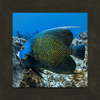 Single French Angel Fish in a 10 x 10 Print in an Espresso Walnut Frame - Schmidt Fine Art Gallery