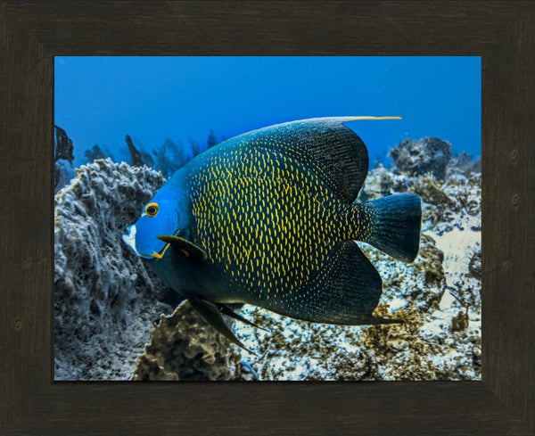 Single French Angel Fish in a 10 x 13 Print in an Espresso Walnut Frame - Schmidt Fine Art Gallery