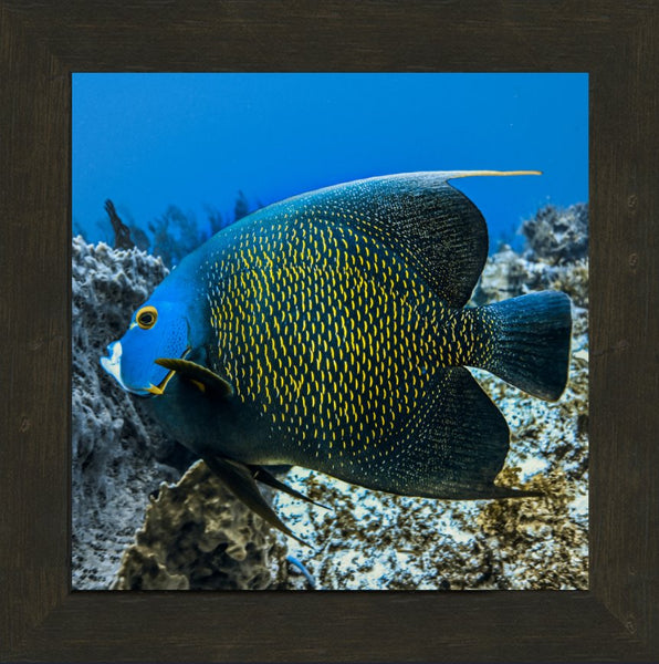 Single French Angel Fish by Schmidt in a 12  x 12 print in a Espresso Walnut Frame - Schmidt Fine Art Gallery
