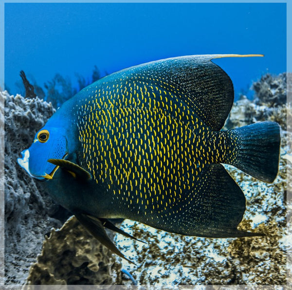 Single French Angel Fish in a 19.5 x 19.5 Acrylic Print with 4 Stainless Steel Posts - Schmidt Fine Art Gallery