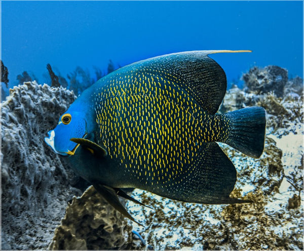 Single French Angel Fish by Schmidt in a 19.5 x 23.5 Acrylic Print with 4 Stainless Steel Posts - Schmidt Fine Art Gallery