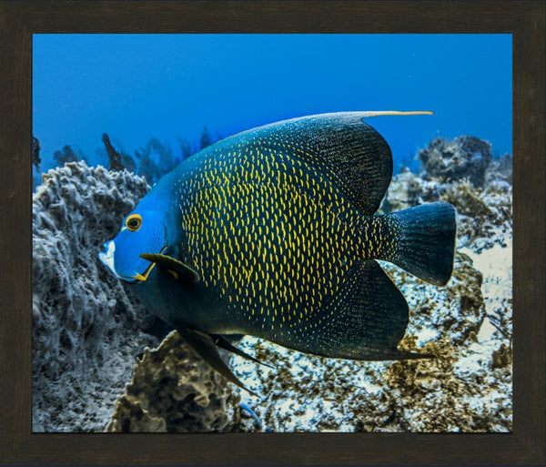 Single French Angel Fish by Schmidt in a 20  x 24 print in a Espresso Walnut Frame - Schmidt Fine Art Gallery