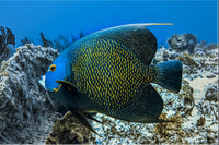 Single French Angel Fish in a 20 x 30 Acrylic Print with 4 Stainless Steel Posts - Schmidt Fine Art Gallery