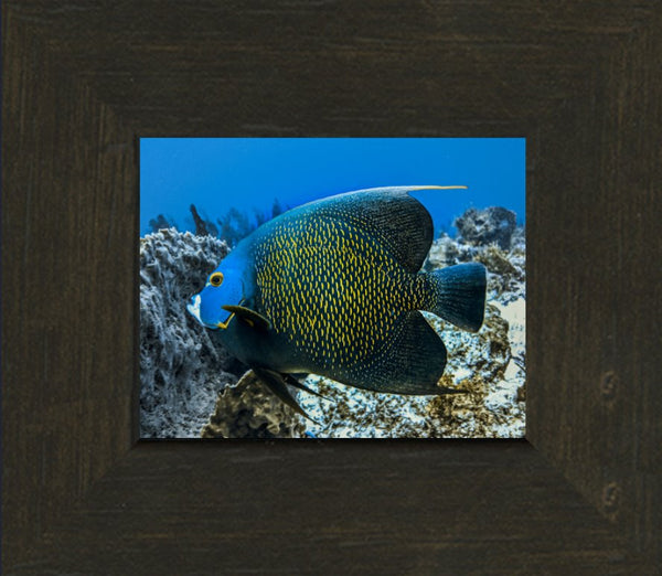 Single French Angel Fish in a 4 x 5 Print in an Espresso Walnut Frame - Schmidt Fine Art Gallery