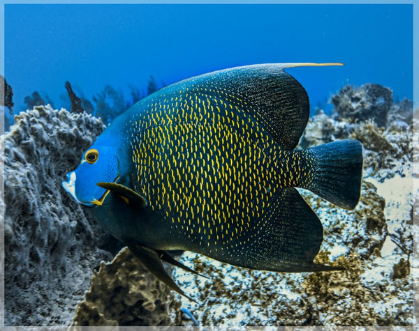 Single French Angel Fish by Schmidt in a 4 x 5 Unframed Print - Schmidt Fine Art Gallery