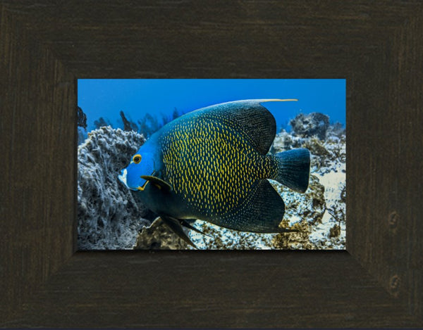 Single French Angel Fish in a 4 x 6 Print in an Espresso Walnut Frame - Schmidt Fine Art Gallery
