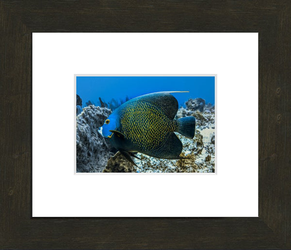 Single French Angel Fish in a 5 x 7 Print in an Espresso Walnut Frame with white mat - Schmidt Fine Art Gallery
