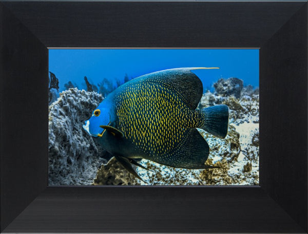 Single French Angel Fish in a 6 x 9 Print in a Black Flat Frame - Schmidt Fine Art Gallery