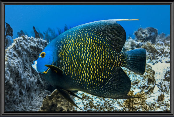 Single French Angel Fish in a 6 x 9 Print in a Black Metal Frame - Schmidt Fine Art Gallery