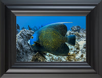 Single French Angel Fish by Schmidt in a 6 x 9 print in a Black Rounded Frame - Schmidt Fine Art Gallery