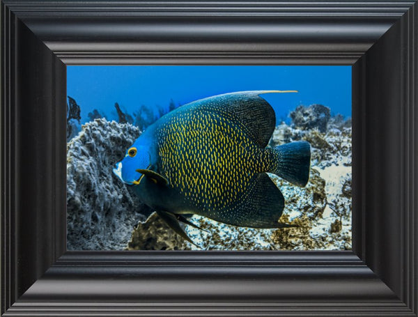Single French Angel Fish in a 6 x 9 Print in a Black Rounded Frame - Schmidt Fine Art Gallery