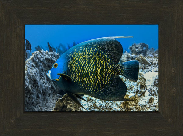 Single French Angel Fish in a 6 x 9 Print in an Espresso Walnut Frame - Schmidt Fine Art Gallery
