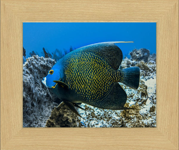Single French Angel Fish in a 8 x 10 Print in a Blonde Maple Frame - Schmidt Fine Art Gallery