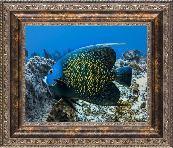 Single French Angel Fish in a 8 x 10 Print in a Bronze Ornate Frame - Schmidt Fine Art Gallery