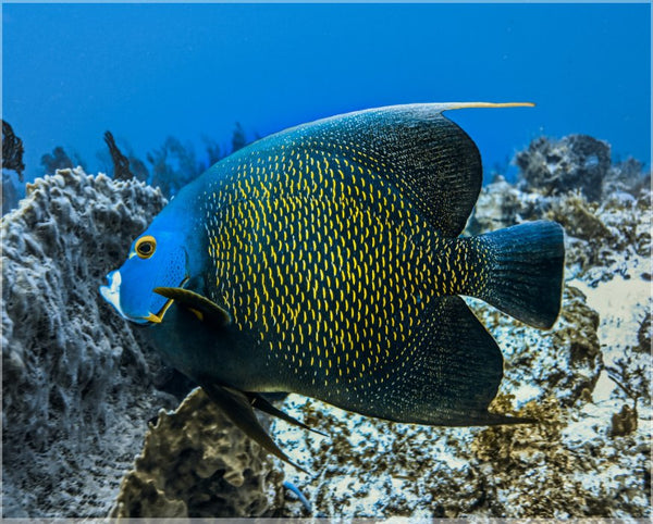 Single French Angel Fish in a 8 x 10 Print in a Canvas Gallery Wrap - Schmidt Fine Art Gallery