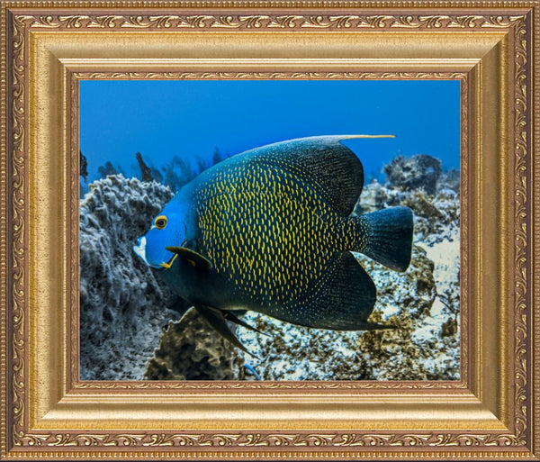 Single French Angel Fish by Schmidt in a 8 x 10 print in a Gold Ornate Frame - Schmidt Fine Art Gallery