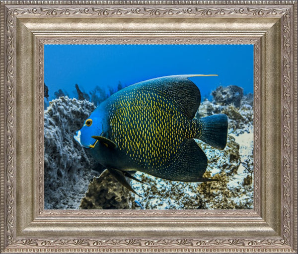 Single French Angel Fish in a 8 x 10 Print in a Silver Ornate Frame - Schmidt Fine Art Gallery