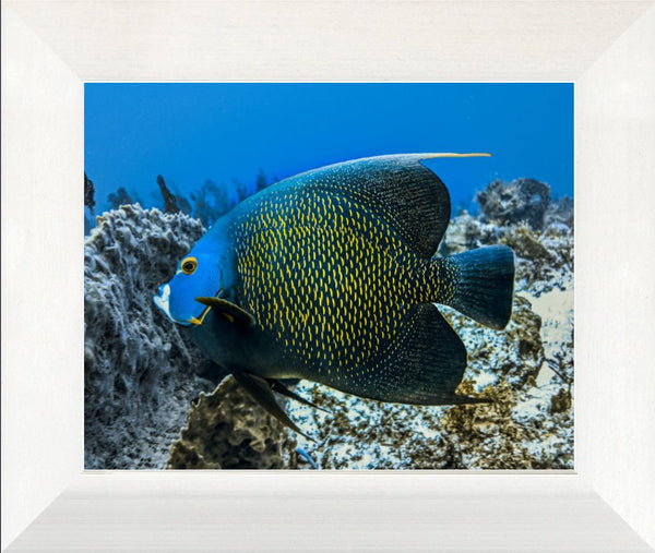 Single French Angel Fish in a 8 x 10 Print in a White Flat Frame - Schmidt Fine Art Gallery