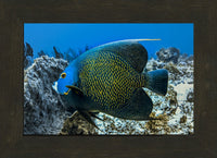 Single French Angel Fish by Schmidt in a 8 x 12 print in a Espresso Walnut Frame - Schmidt Fine Art Gallery