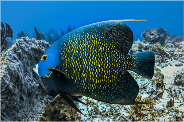 Single French Angel Fish in a 8 x 12 Metal Print - Schmidt Fine Art Gallery