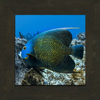 Single French Angel Fish by Schmidt in a 8  x 8 print in a Espresso Walnut Frame - Schmidt Fine Art Gallery