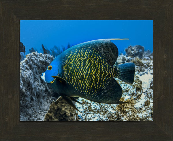 Single French Angel Fish in a 8.5 x 11 Print in an Espresso Walnut Frame - Schmidt Fine Art Gallery