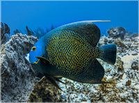 Single French Angel Fish in a 9 x 12 Unframed Print - Schmidt Fine Art Gallery