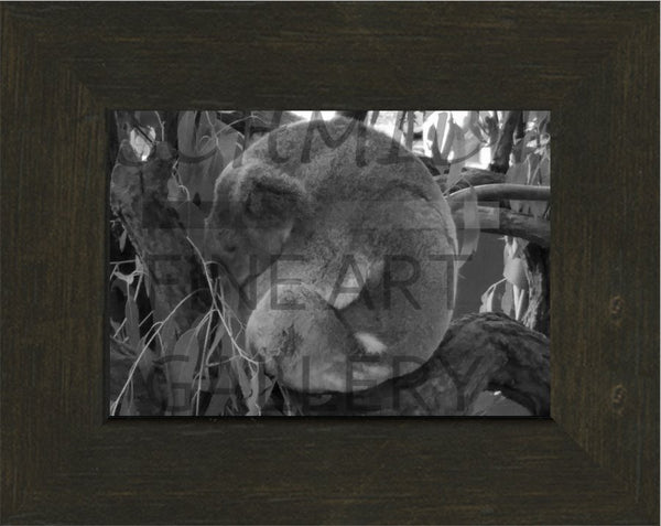 Sleeping Koala in a 5 x 7 Frame - Schmidt Fine Art Gallery