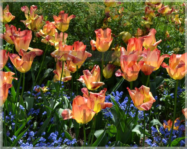 Spring multi colored flowers of Rothenburg ob der Tauber in a 10 x 8 Print - Schmidt Fine Art Gallery