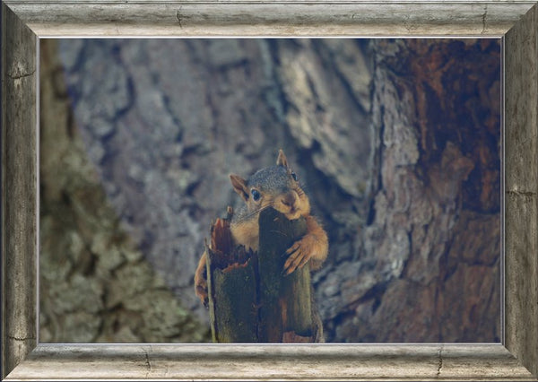 Squirrel chill-in out by Murchison in a 20 x 30 print Framed - Schmidt Fine Art Gallery